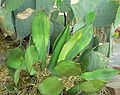 Agave bovicornuta 1.jpg