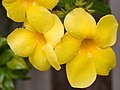 Alamanda Yellow-01+ (336961590).jpg