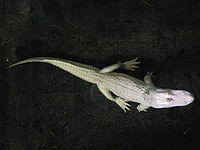 An albino alligator; this trait is more common in captivity.