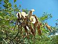 Albizia adianthifolia pods 14 06 2010.JPG