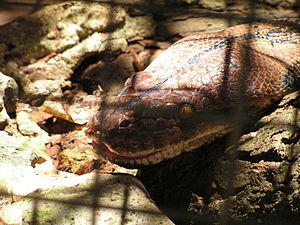 Alburquerque, Bohol - 'Prony' the Python