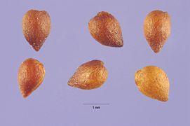 Alchemilla monticola seeds.jpg