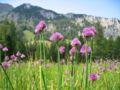 Allium schoenoprasum var alpinum.jpg
