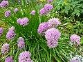 Allium senescens montanum.jpg
