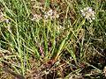 Allium textile habit (3287811248).jpg
