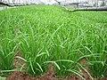 Allium tuberosum 2.jpg