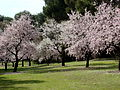 Almendros en flor II.jpg