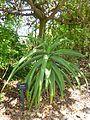 Aloe thraskii botanical garden.JPG