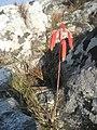 Aloe wildii 2 (4354770225).jpg