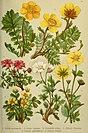 Alpen-Flora für Touristen und Pflanzenfreunde (1902) (17921689880).jpg