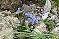 Alpine flora - dwarf harebells (Gru) (31975938325).jpg