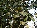 Alseodaphne semicarpifolia (8502234707).jpg