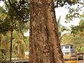 Alstonia scholaris - bark 07.JPG