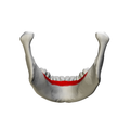 Alveolar part of mandible - close up- posterior view.png