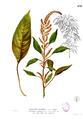 Amaranthus cruentus Blanco2.430.png