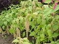 Amarantus caudatus0.jpg