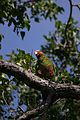 Amazona leucocephala -Grand Cayman, Cayman Islands, British West Indies-8.jpg