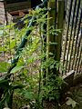 Ambrosia artemisiifolia001.jpg