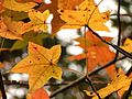American Sweetgum Leaves - Flickr - treegrow.jpg