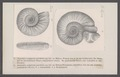 Ammonites polyplocus parabolis - - Print - Iconographia Zoologica - Special Collections University of Amsterdam - UBAINV0274 091 01 0051.tif