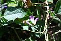 Amphicarpaea bracteata subsp. edgeworthii.JPG