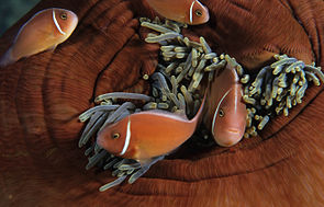 Amphiprion perideraion in Anemone.jpg