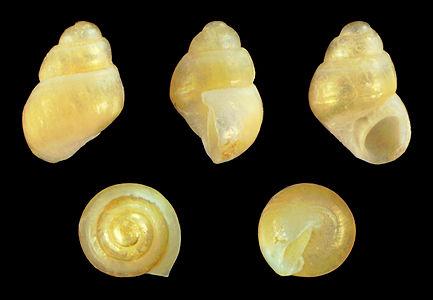 A shell of Amphithalamus vallei