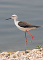 Amputated Black-winged stilt.jpg
