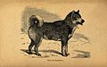 An eskimo dog. Wood engraving. Wellcome V0021862.jpg