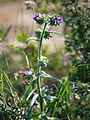Anchusa-officinalis-1000306.JPG