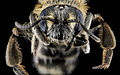 Andrena nasonii, F, face, New York, Kings County 2013-02-07-14.10.38 ZS PMax (8486928037).jpg