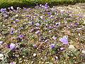 Anemone blanda in Jardin des Plantes - buds about to open 01.JPG