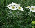 Anemone narcissiflora PID1926-1.jpg
