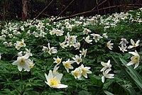 Anemone nemerosa - geograph.org.uk - 1250042.jpg