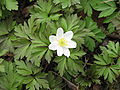 Anemone nemorosa close-up.jpg