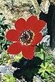 Anemone pavonina 2.jpg