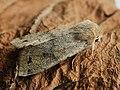 Anorthoa munda - Twin-spotted Quaker - Ранняя совка рыжеватая (41057788741).jpg