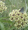 Antelope Horns Milkweed and Gray Hairstreak - panoramio.jpg