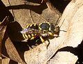 Anthidium manicatum^ Megachilidae - Flickr - gailhampshire.jpg