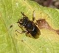 Anthidium manicatum. Wool Carder Bee - Flickr - gailhampshire.jpg