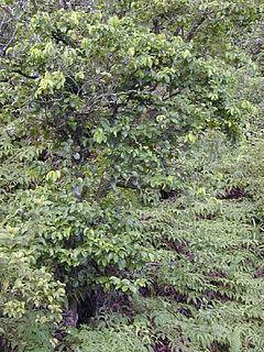 <i>Antidesma</i> genus of plants