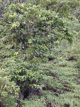 Antidesma - Hame (A. platyphyllum) - habit