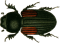 Aphodius varians Jacobson 1.png