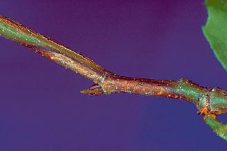 Apiognomonia veneta - Symptoms on a twig
