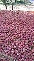 Apples of tribjee arwani, Bijbehara 6.jpg