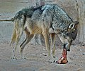 Arabian Wolf Al Ain Zoo 1 leicht verbessert.jpg