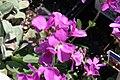 Arabis blepharophylla Spring Charm 8zz.jpg