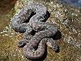 Arafura File Snake (Acrochordus arafurae) (8691271511).jpg