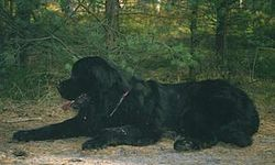 Aragon the Newfoundland Dog.jpg