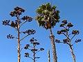 Arboreal Array - Old Town San Diego State Historic Park - San Diego, CA - USA (6784544584).jpg